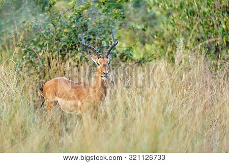 Male Of Impala Antelope, Aepyceros Melampus, Caprivi Strip Game Park, Bwabwata National Park, Namibi