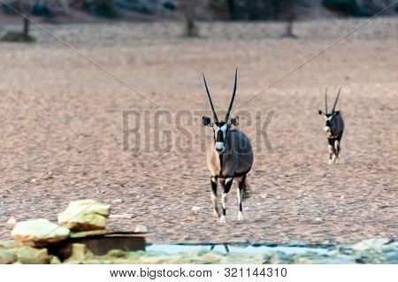 Two Orynx Are Reluctantly Approaching A Waterhole, Near The Cha-re Campsite In The Khomas Region Of