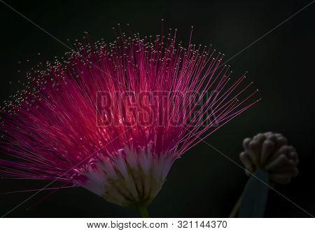 Backlit Red Surinam Flower In Full Bloom