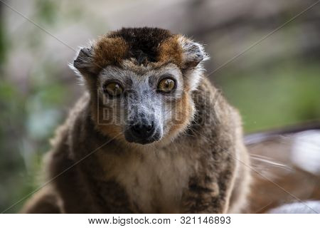 Portrait Of A Ring Tailed Maki Catta Lemur With Big Orange Eyes. Madagascar Lemur.