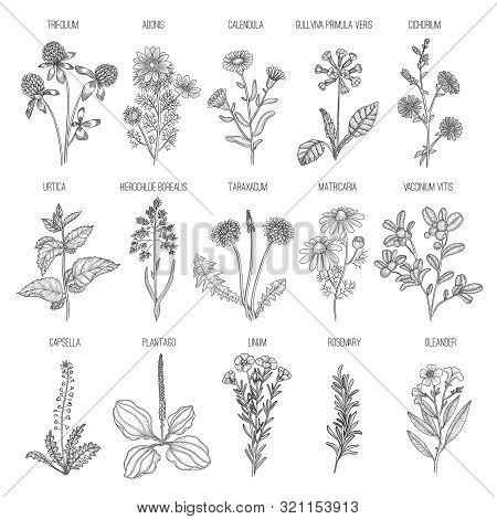 Herbs Collection. Medical Healthy Flowers And Herbs Nature Plants For Garden Rosemary Lavender Dande