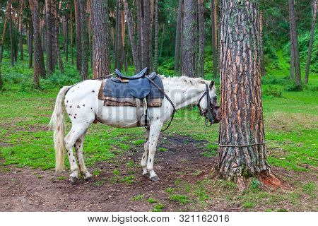 An Adult White Spotted Horse With A Saddle Tied For A Bridle To A Tree And Sleeps In A Forest With G