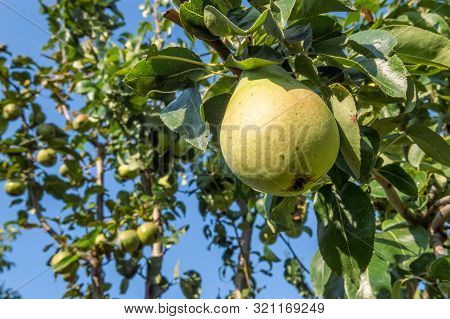 Ripe Organic Cultivar Pears Growing On The Tree Branch In The Garden. Organic Pears In Natural Envir