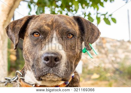 Close Up Portrait Of A Pitbull Boxer Mix Enjoying Sunny Day In The Garden.