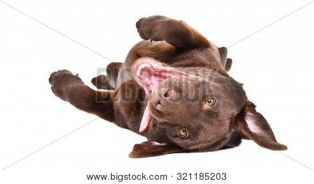 Funny Adorable Labrador Puppy Lying On His Back Isolated On A White Background