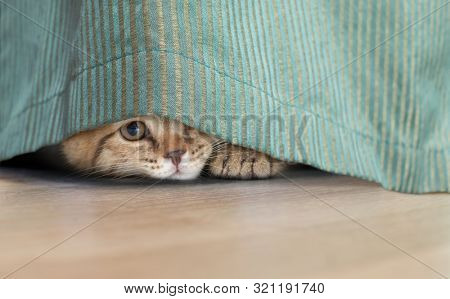 funny cat hidden under curtain