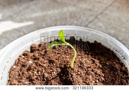Close Up Of An Organic Little Green Pumpkin Sprout, Seedling Growing In A Pot In A Balcony.