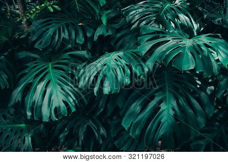 Green Leaves Of Monstera Philodendron, Plant Growing In Botanical Garden, Tropical Forest Plants, Ev