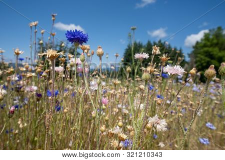 Meadow Of Eautiful Mixed Wildflowers In Pink, Yellow And Purple Colors