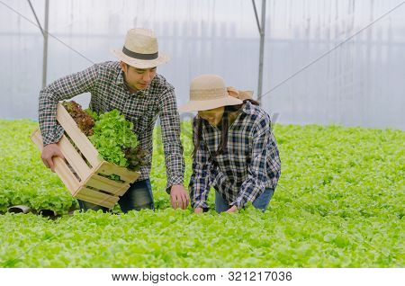 Young Asian Couple Farmer Harvesting Fresh Green Oak Lettuce Salad, Organic Hydroponic Vegetable In