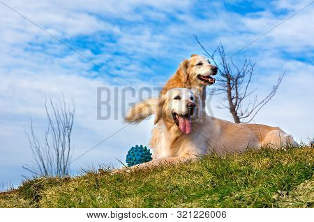 Happy Pets Portraits In Outdoors.funny Dogs.golden Retriever