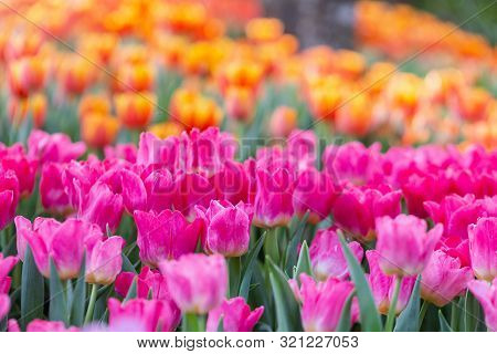 Tulip Nature Background. Nature Background Of Tulip. Tulip Plant Nature Background. Close Up Backgro