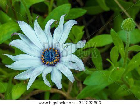 Blue Flower Garden Orange Anther Closeup Shot