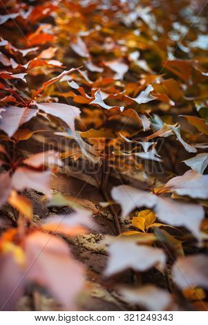 Close-up Of Autumny Virginia Creeper Leaves Climbing Against A Brick Wall. Autumny Mood. Fall Backgr