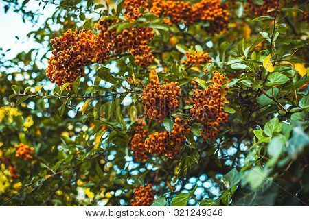Ginger Pyracantha Berries Hanging On The Trees. Autumny Mood. Fall Background. Fall Wallpaper.