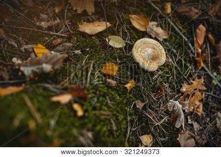 Close-up Of A Beige Mushroom Growing On The Moss Among Fallen Tree Needles And Fallen Leaves. Autumn