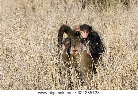 A Young Chacma Baboon Clutches His Mother As He Rides