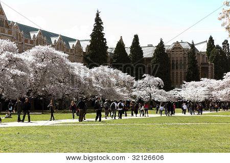 Cherry blossom at the quad