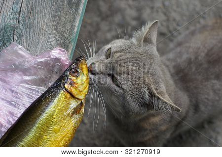 gray cat sniffs brown smoked herring fish on the table poster