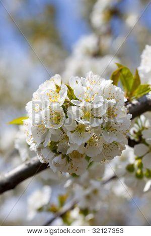 Blossom chery tree