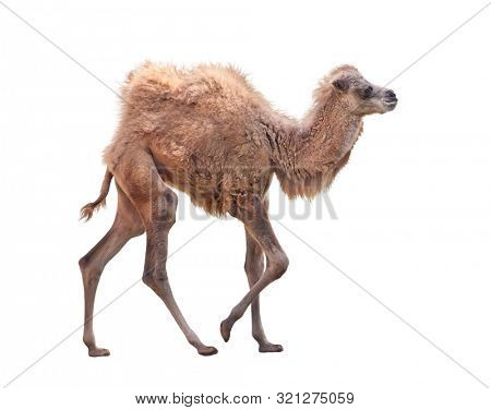Baby Camel with two humps , Bactrian camel isolated  on white background