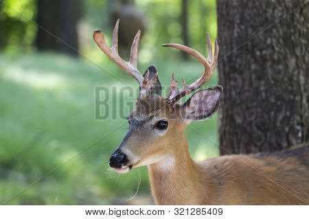 The white-tailed deer (Odocoileus virginianus) on the forest poster