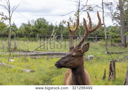 Young Ekl - Wapiti With Antlers Velvet ,wildlife And Conservation Area