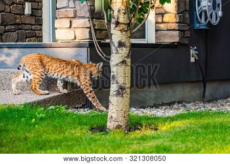 Wild Bobcat In The City