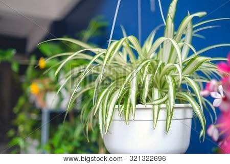 Chlorophytum Comosum, Spider Plant  In White Hanging Pot / Basket, Air Purifying Plants For Home, In