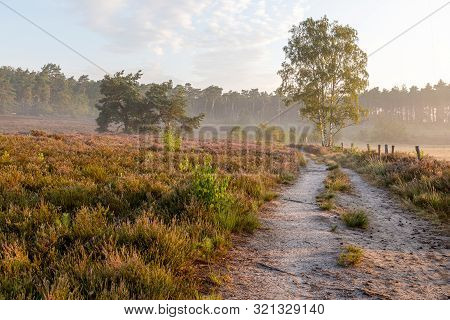 The Heather In Bloom, Picture Form The Wijers In Limburg Belgium During The Morning