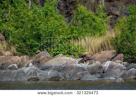 Chambal River Smooth Coated Otter Lutrogale Pers Or Lutrogale Perspicillata Family Pups Are Playing