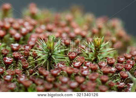 Macro Of Gametophyte And Sporophyte Of Blooming Juniper Polytrichum Moss (polytrichum Commune)