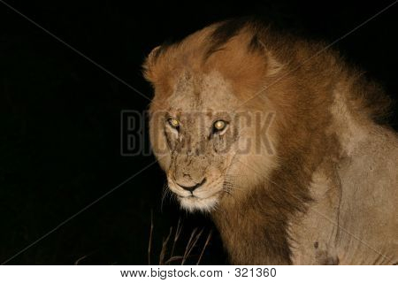 male lion with fierce yellow eyes poster
