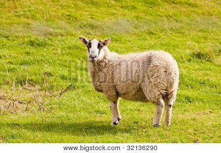 portait of a sheep