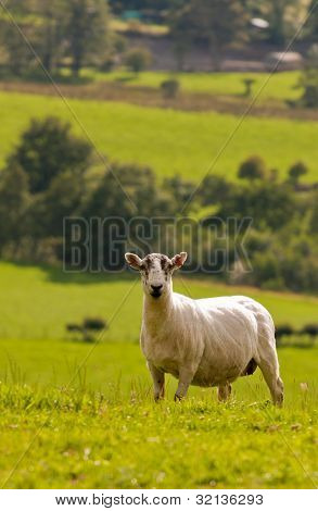 Single sheep on hill, grazing