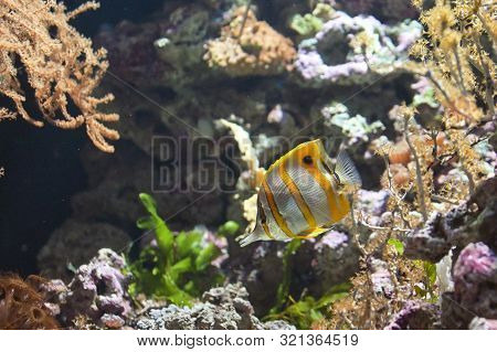 Copperband Butterflyfish (chelmon Rostratus) Tropical Fish, Close Up