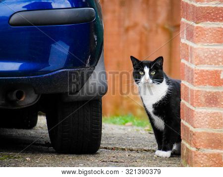 Mature Black And White Cat With Yeallow Eyes Sits Near Blue Car. Domestic Animal In An Urban Environ