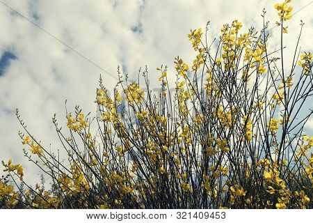 Beautiful Yellow Bush With Flowers Known As Spanish Broom On A Cloudy Summer Day In Sithonia Greece