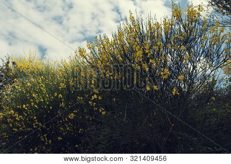 Beautiful Yellow Bush With Flowers On A Cloudy Summer Day In Sithonia Greece Selective Focus