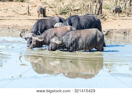 Four Cape Buffaloes, Syncerus Caffer, Drinking In A Muddy Dam