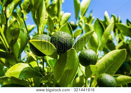 Lime On A Branch Against The Blue Sky. Closeup Of A Lime Fruit Grown On A Lime Tree. Lemon Juice Is