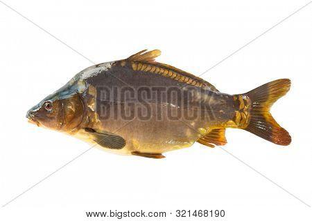 Big mirror carp isolated on white background. Common carp. Cyprinus carpio