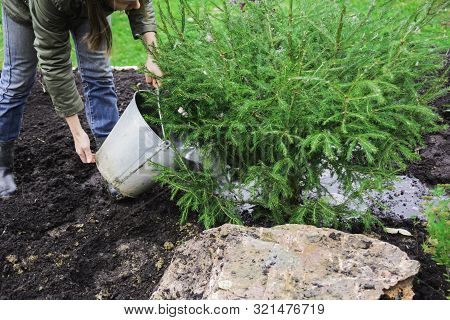 European Woman With Liquid Manure Watering Young Fir Tree, Landscape Designer Autumn Preparing For W