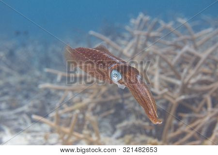 Caribbean Reef Squid Swimming Over Critically Endangered Staghorn Coral On Coral Reef Off Bonaire, D