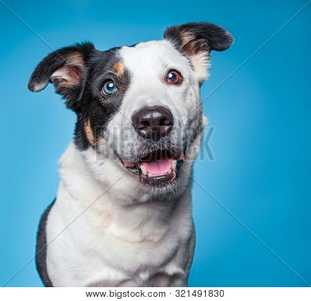 Cute blue eyed border collie mix cattle dog on an isolated background studio shot