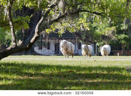 A heard of sheep grazing in a field