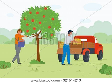 Man And Woman Harvesting Apples, Full Containers, Transportation Fruit. People In Orchard, Gardener