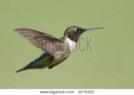 Ruby-throated Hummingbird (archilochus colubris) in flight with a green background poster