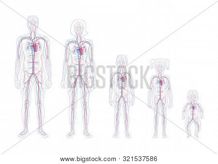 Vector Isolated Illustration Of Human Arterial And Venous Circulatory System Anatomy In Man, Woman,