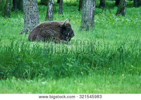 Huge Wilde Male Polish Bizon (buffalo, Zubr) In Polish Pristine Forest, In Its Own Environment.